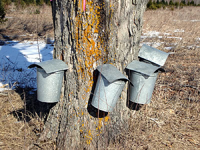 maple-syrup-trees